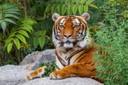 Hinterindischer Tiger im-Tierpark Berlin - Quelle: © Tierpark Berlin